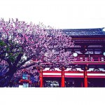 福岡の県花の梅と北欧諸国での国花